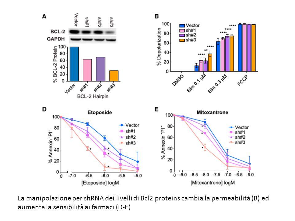 La manipolazione per shRNA dei livelli di Bcl2 proteins cambia la permeabilità (B) ed aumenta la sensibilità ai farmaci (D-E)