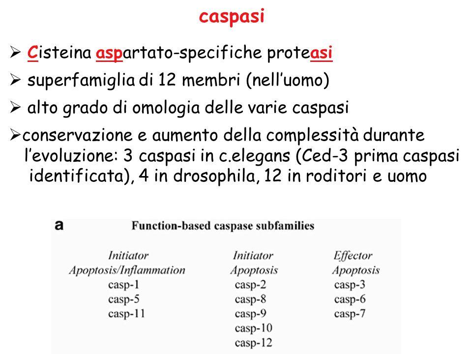 caspasi  Cisteina aspartato-specifiche proteasi  superfamiglia di 12 membri (nell'uomo)  alto grado di omologia delle varie caspasi  conservazione