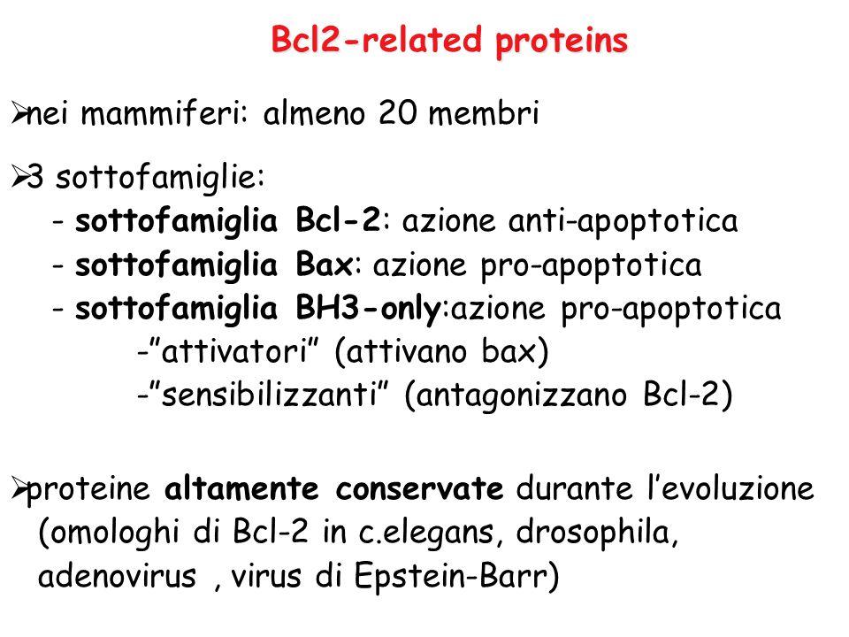  nei mammiferi: almeno 20 membri  3 sottofamiglie: - sottofamiglia Bcl-2: azione anti-apoptotica - sottofamiglia Bax: azione pro-apoptotica - sottof