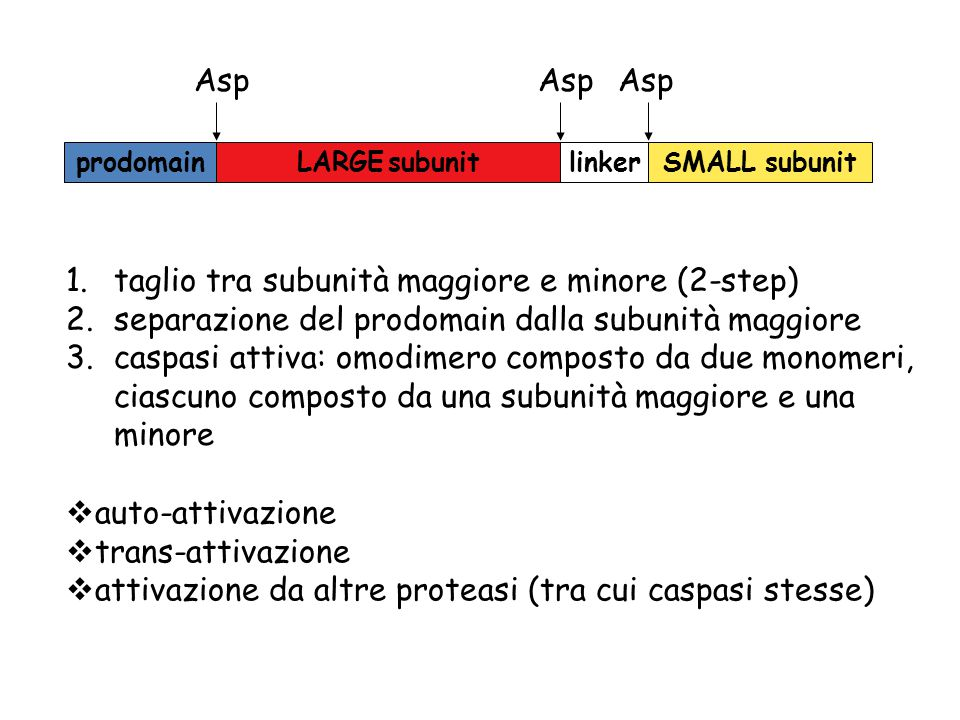 auto-attivazione  trans-attivazione  attivazione da altre proteasi (tra cui caspasi stesse) prodomainLARGE subunitlinkerSMALL subunit Asp 1.taglio