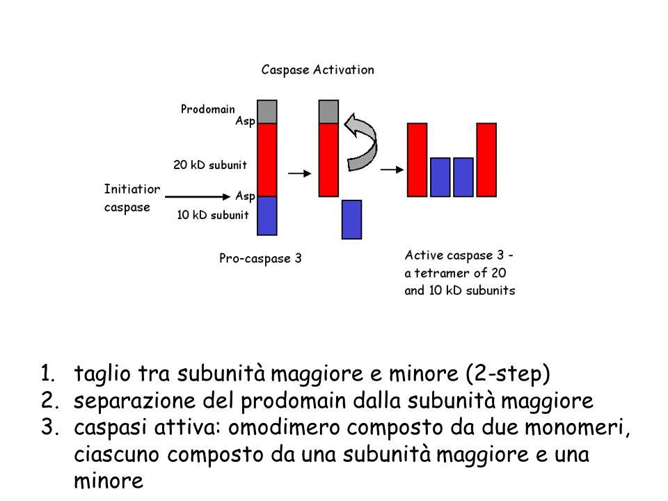 1.taglio tra subunità maggiore e minore (2-step) 2.separazione del prodomain dalla subunità maggiore 3.caspasi attiva: omodimero composto da due monom