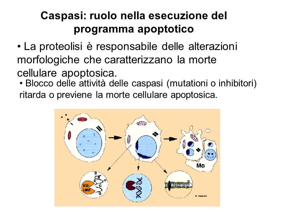 Caspasi: ruolo nella esecuzione del programma apoptotico La proteolisi è responsabile delle alterazioni morfologiche che caratterizzano la morte cellu