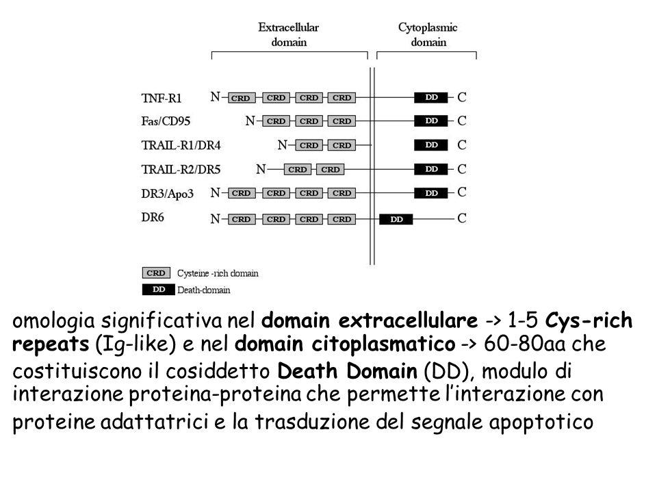 omologia significativa nel domain extracellulare -> 1-5 Cys-rich repeats (Ig-like) e nel domain citoplasmatico -> 60-80aa che costituiscono il cosidde