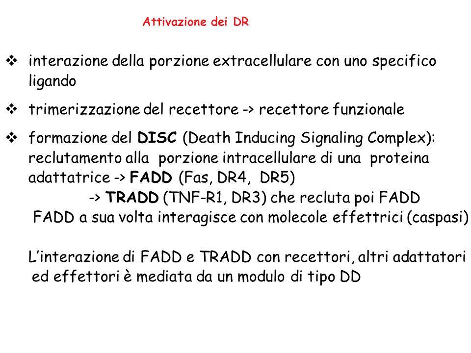 Attivazione dei DR  interazione della porzione extracellulare con uno specifico ligando  trimerizzazione del recettore -> recettore funzionale  for