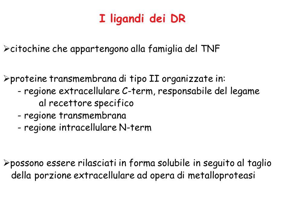 I ligandi dei DR  citochine che appartengono alla famiglia del TNF  proteine transmembrana di tipo II organizzate in: - regione extracellulare C-ter