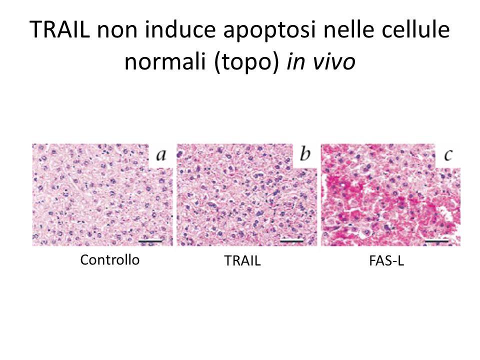 TRAIL non induce apoptosi nelle cellule normali (topo) in vivo Controllo TRAILFAS-L