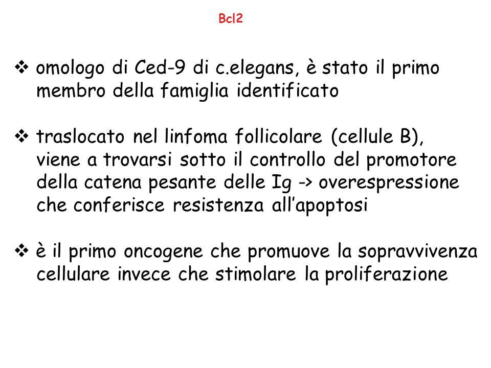 Bcl2  omologo di Ced-9 di c.elegans, è stato il primo membro della famiglia identificato  traslocato nel linfoma follicolare (cellule B), viene a tr