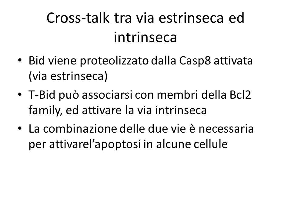 Cross-talk tra via estrinseca ed intrinseca Bid viene proteolizzato dalla Casp8 attivata (via estrinseca) T-Bid può associarsi con membri della Bcl2 f