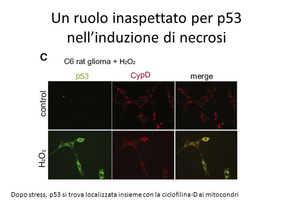 Un ruolo inaspettato per p53 nell'induzione di necrosi Dopo stress, p53 si trova localizzata insieme con la ciclofilina-D ai mitocondri