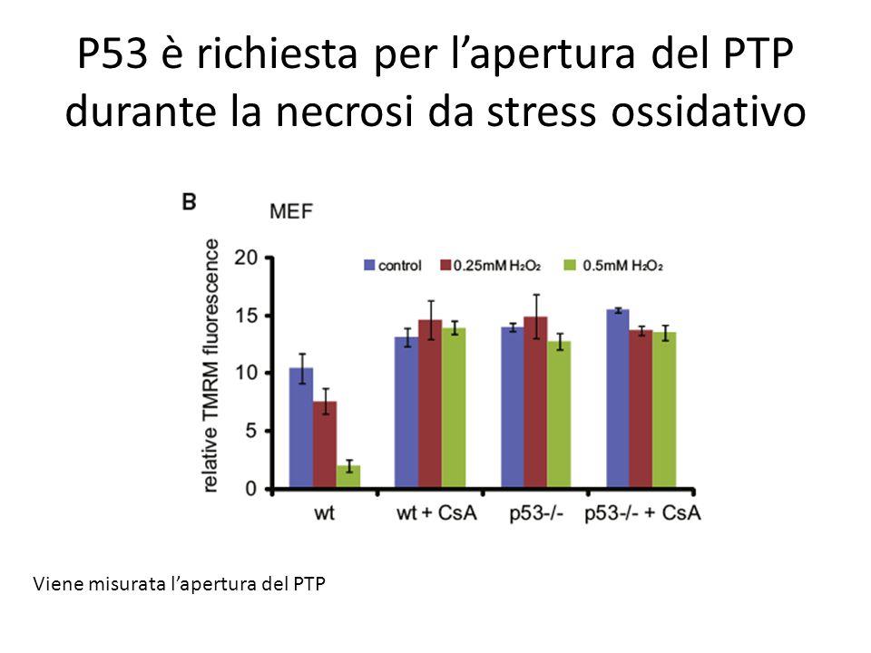 P53 è richiesta per l'apertura del PTP durante la necrosi da stress ossidativo Viene misurata l'apertura del PTP