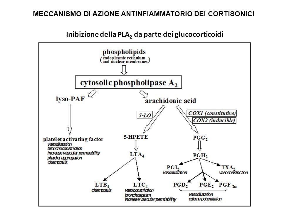 Inibizione della PLA 2 da parte dei glucocorticoidi MECCANISMO DI AZIONE ANTINFIAMMATORIO DEI CORTISONICI