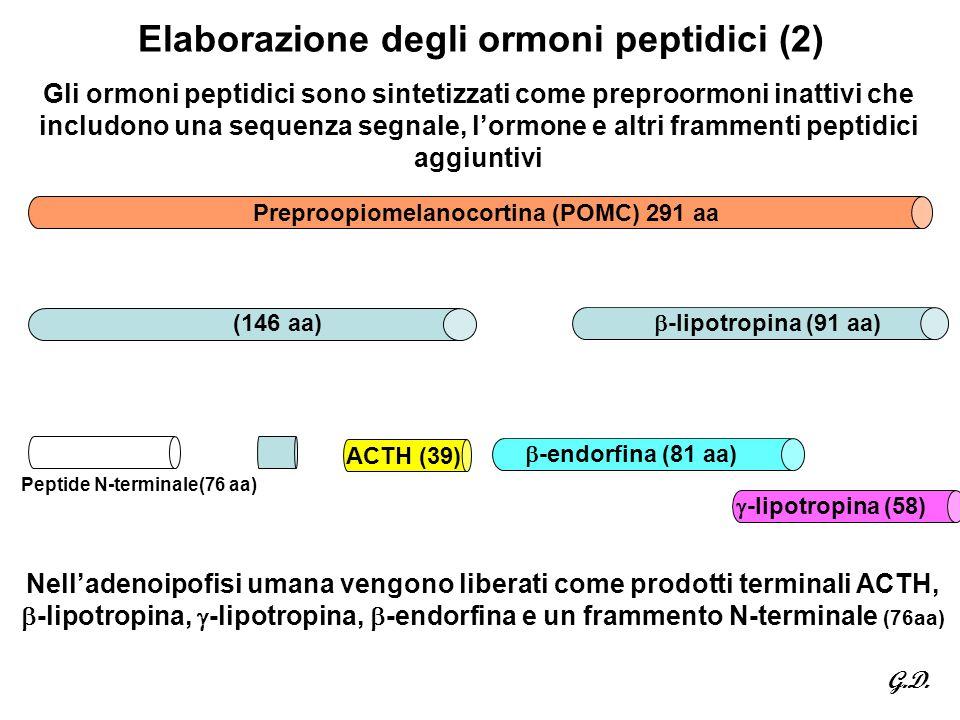 Elaborazione degli ormoni peptidici (2) Gli ormoni peptidici sono sintetizzati come preproormoni inattivi che includono una sequenza segnale, l'ormone