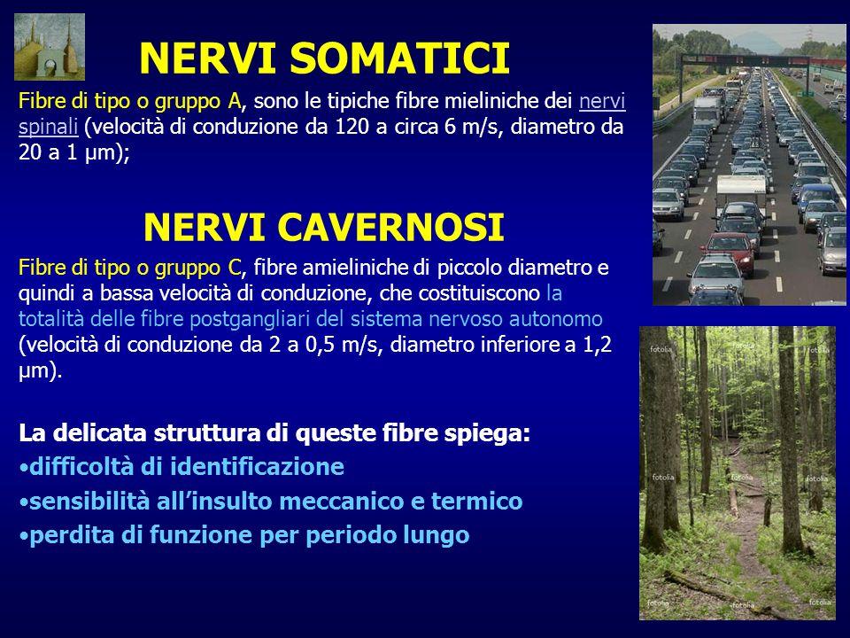 NERVI SOMATICI Fibre di tipo o gruppo A, sono le tipiche fibre mieliniche dei nervi spinali (velocità di conduzione da 120 a circa 6 m/s, diametro da