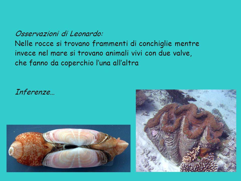 Osservazioni di Leonardo: Nelle rocce si trovano frammenti di conchiglie mentre invece nel mare si trovano animali vivi con due valve, che fanno da coperchio l'una all'altra Inferenze…