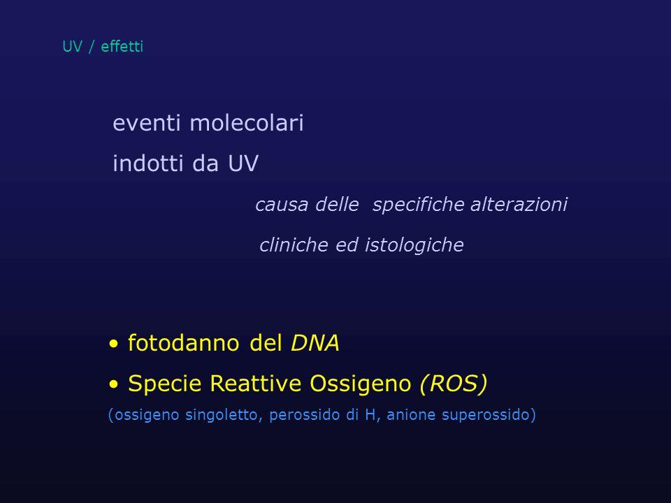 UV / effetti ROS = agenti comuni dell'azione UV * riducono e danneggiano i sistemi antiossidanti ossidazione di lipidi e proteine ** Oltre a indurre alterazioni geniche attivano segnali per i fibroblasti in relazione a crescita,differenziazione,senescenza degenerazione connettivale* *Wlaschek et al.