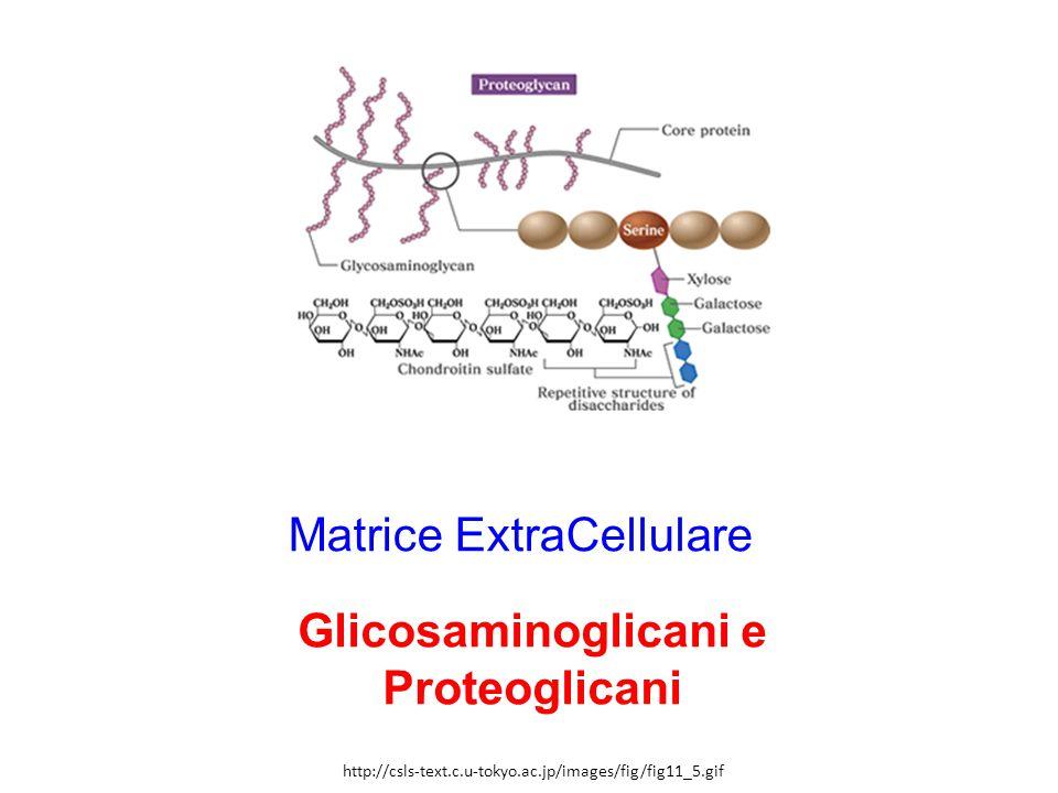 Matrice ExtraCellulare Glicosaminoglicani e Proteoglicani http://csls-text.c.u-tokyo.ac.jp/images/fig/fig11_5.gif