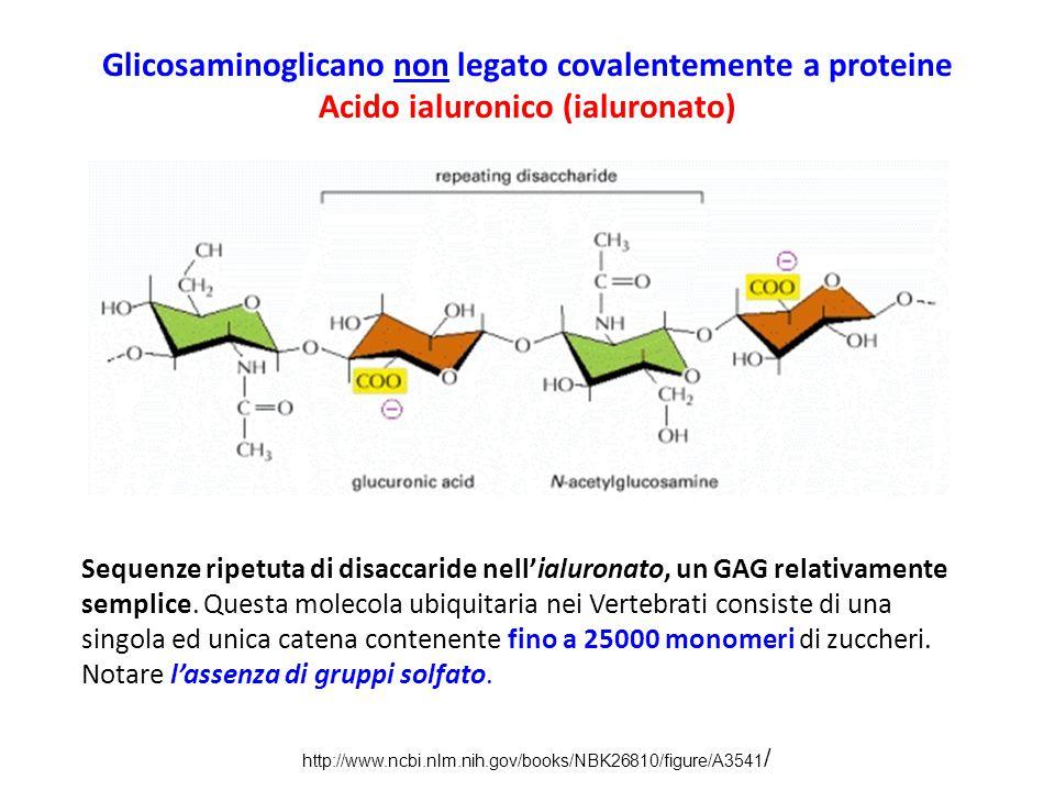 Glicosaminoglicano non legato covalentemente a proteine Acido ialuronico (ialuronato) Sequenze ripetuta di disaccaride nell'ialuronato, un GAG relativ