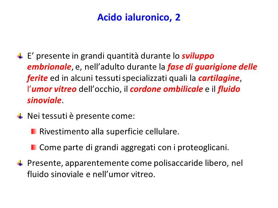 Acido ialuronico, 2 E' presente in grandi quantità durante lo sviluppo embrionale, e, nell'adulto durante la fase di guarigione delle ferite ed in alc