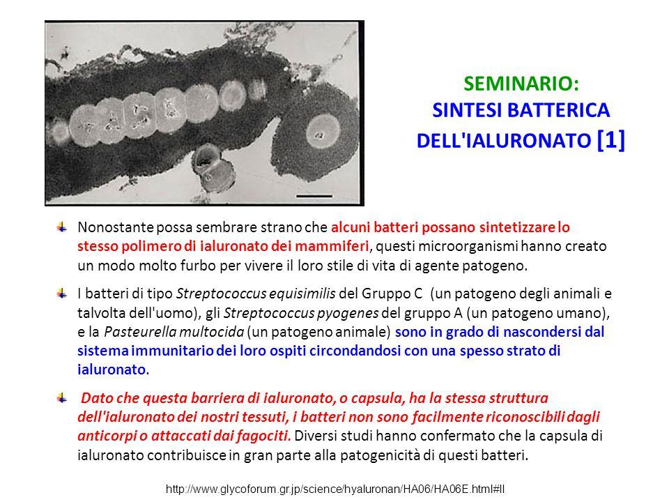 SEMINARIO: SINTESI BATTERICA DELL'IALURONATO [1] Nonostante possa sembrare strano che alcuni batteri possano sintetizzare lo stesso polimero di ialuro