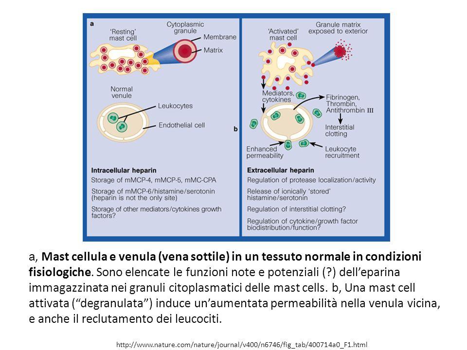 http://www.nature.com/nature/journal/v400/n6746/fig_tab/400714a0_F1.html a, Mast cellula e venula (vena sottile) in un tessuto normale in condizioni f