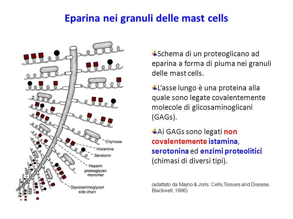 Eparina nei granuli delle mast cells Schema di un proteoglicano ad eparina a forma di piuma nei granuli delle mast cells. L'asse lungo è una proteina