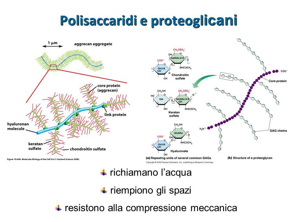 Polisaccaridi e proteogl icani richiamano l'acqua riempiono gli spazi resistono alla compressione meccanica