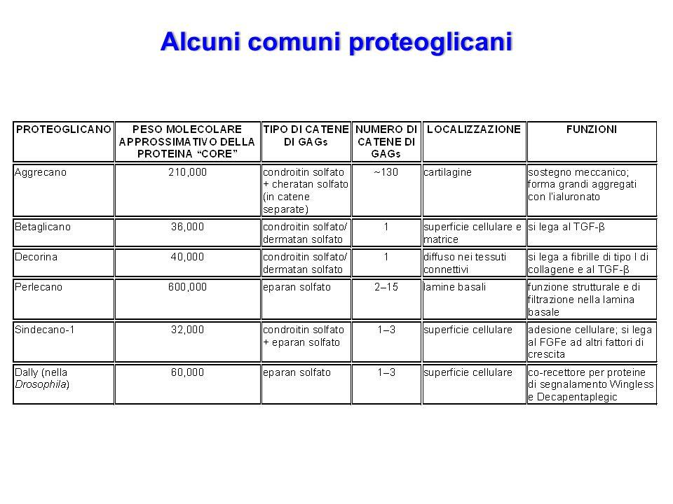 Alcuni comuni proteoglicaniAlcuni comuni proteoglicani