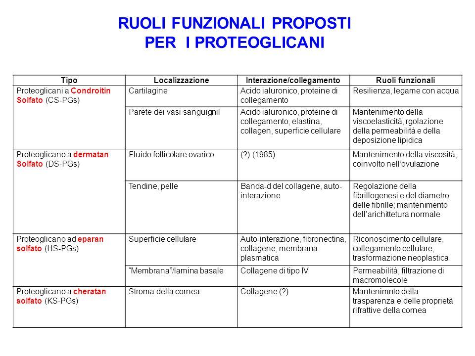 RUOLI FUNZIONALI PROPOSTI PER I PROTEOGLICANI TipoLocalizzazioneInterazione/collegamentoRuoli funzionali Proteoglicani a Condroitin Solfato (CS-PGs) C