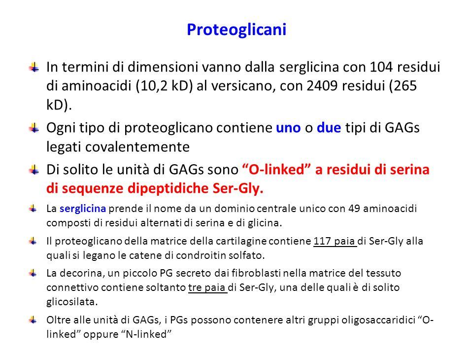 Proteoglicani In termini di dimensioni vanno dalla serglicina con 104 residui di aminoacidi (10,2 kD) al versicano, con 2409 residui (265 kD). Ogni ti