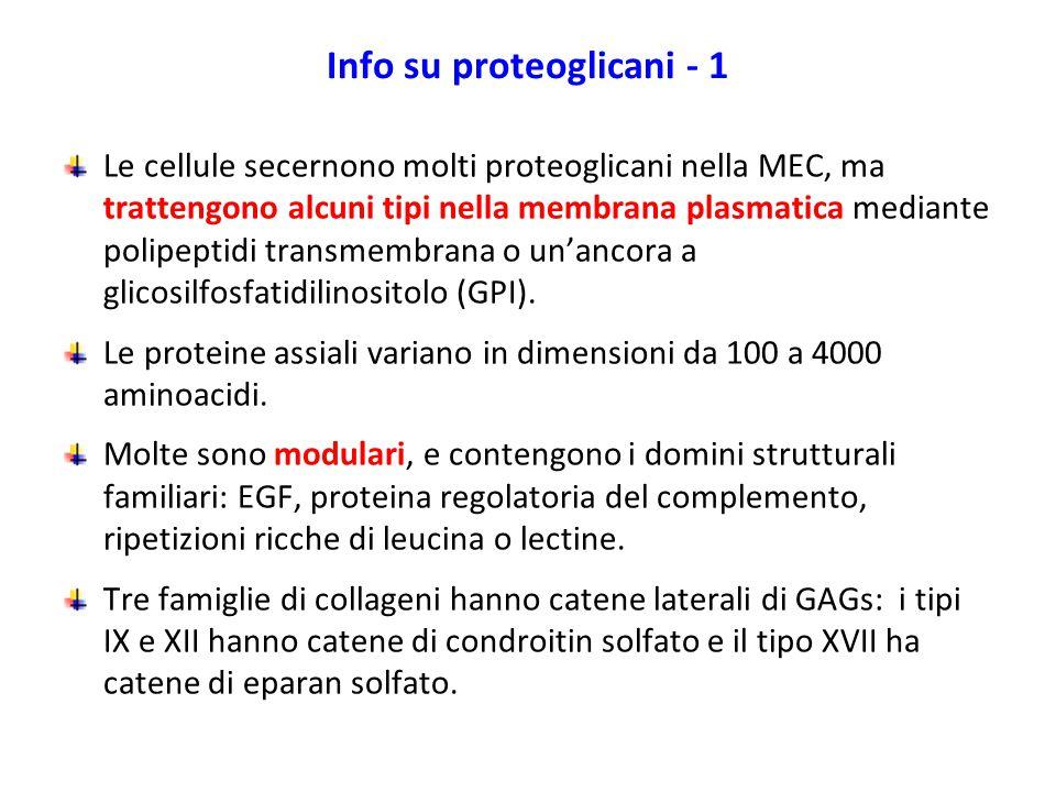 Info su proteoglicani - 1 Le cellule secernono molti proteoglicani nella MEC, ma trattengono alcuni tipi nella membrana plasmatica mediante polipeptid