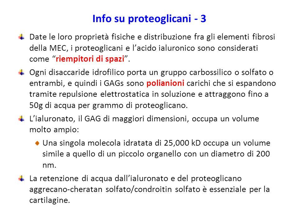 Info su proteoglicani - 3 Date le loro proprietà fisiche e distribuzione fra gli elementi fibrosi della MEC, i proteoglicani e l'acido ialuronico sono