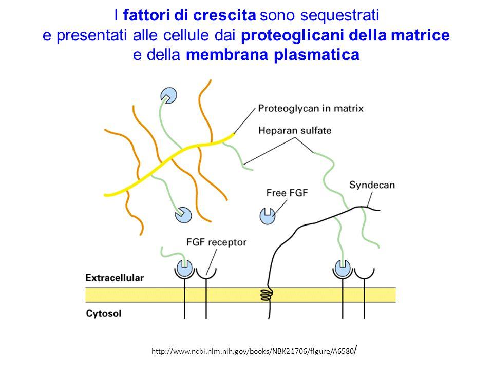 I fattori di crescita sono sequestrati e presentati alle cellule dai proteoglicani della matrice e della membrana plasmatica http://www.ncbi.nlm.nih.g