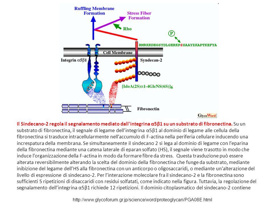 http://www.glycoforum.gr.jp/science/word/proteoglycan/PGA08E.html Il Sindecano-2 regola il segnalamento mediato dall'integrina α5β1 su un substrato di