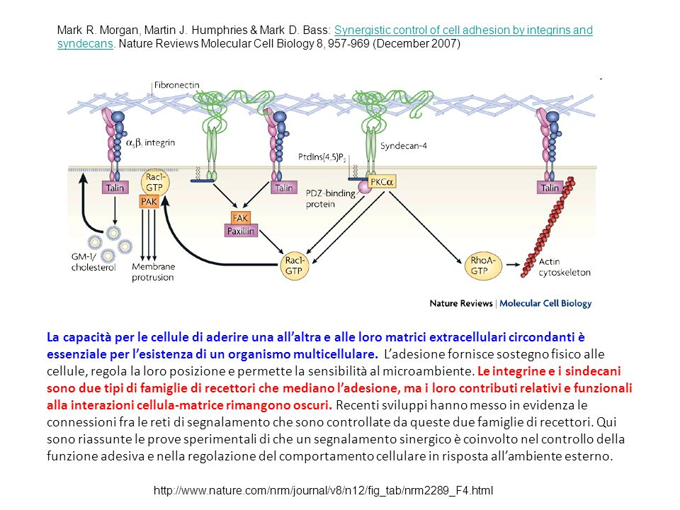 http://www.nature.com/nrm/journal/v8/n12/fig_tab/nrm2289_F4.html Mark R. Morgan, Martin J. Humphries & Mark D. Bass: Synergistic control of cell adhes