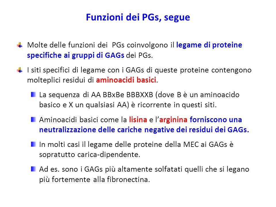 Funzioni dei PGs, segue Molte delle funzioni dei PGs coinvolgono il legame di proteine specifiche ai gruppi di GAGs dei PGs. I siti specifici di legam