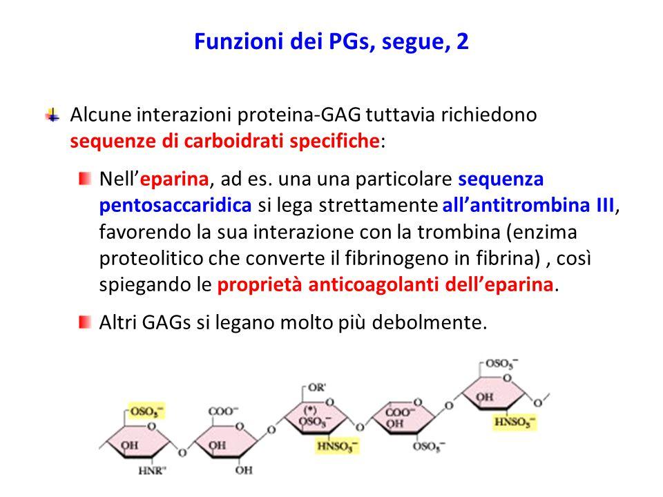 Funzioni dei PGs, segue, 2 Alcune interazioni proteina-GAG tuttavia richiedono sequenze di carboidrati specifiche: Nell'eparina, ad es. una una partic