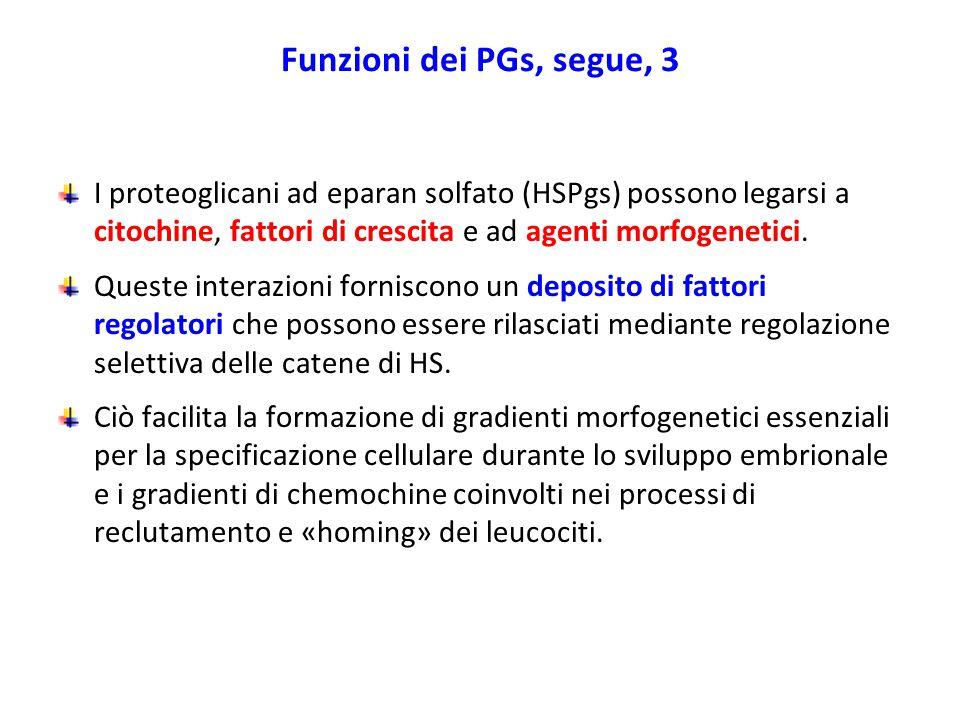 Funzioni dei PGs, segue, 3 I proteoglicani ad eparan solfato (HSPgs) possono legarsi a citochine, fattori di crescita e ad agenti morfogenetici. Quest