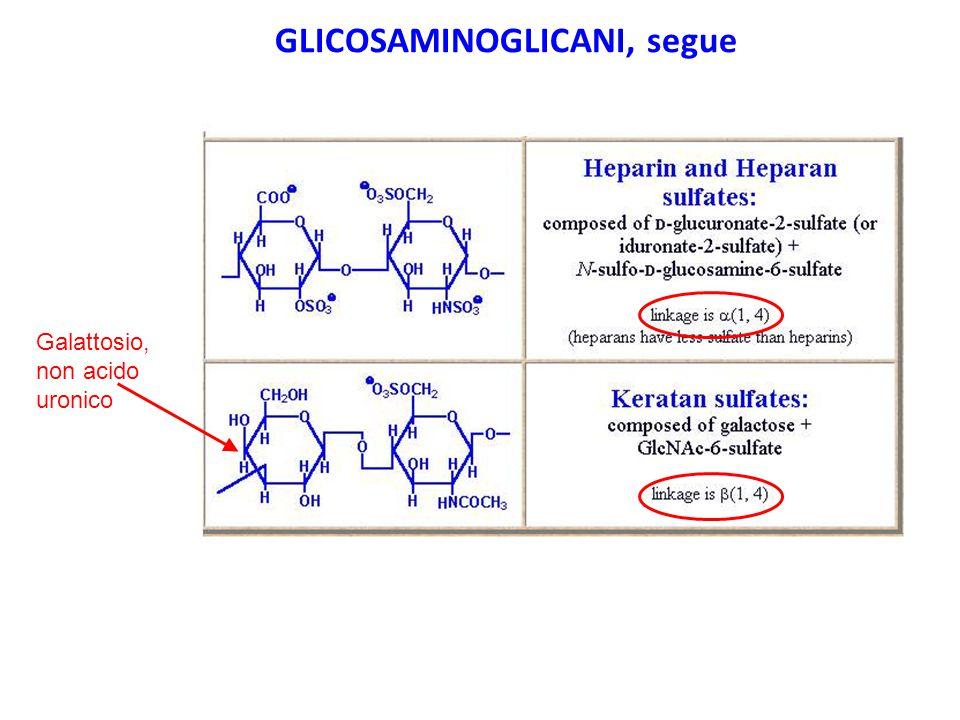 Galattosio, non acido uronico GLICOSAMINOGLICANI, segue