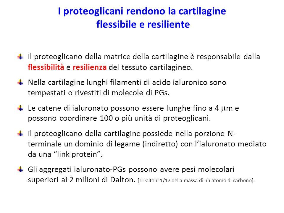I proteoglicani rendono la cartilagine flessibile e resiliente Il proteoglicano della matrice della cartilagine è responsabile dalla flessibilità e re