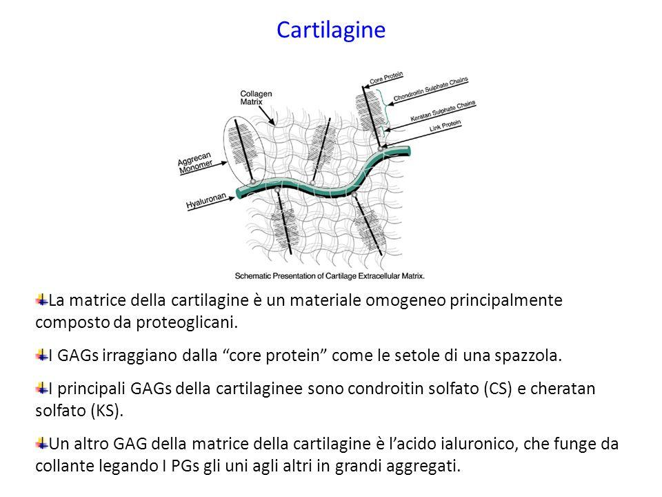 """Cartilagine La matrice della cartilagine è un materiale omogeneo principalmente composto da proteoglicani. I GAGs irraggiano dalla """"core protein"""" come"""