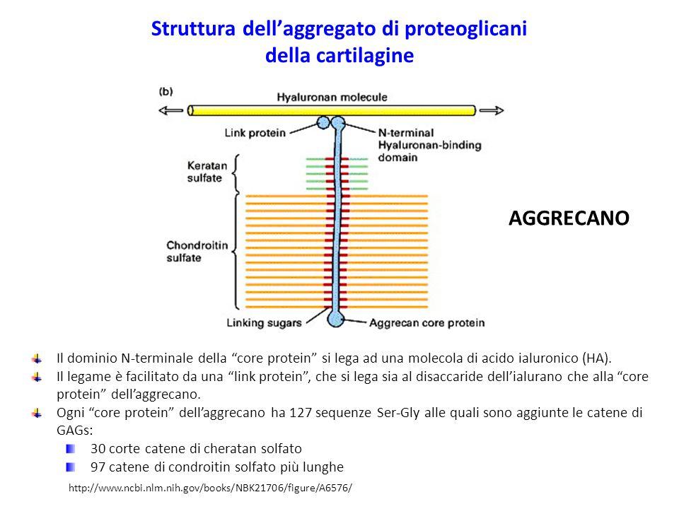 """Struttura dell'aggregato di proteoglicani della cartilagine Il dominio N-terminale della """"core protein"""" si lega ad una molecola di acido ialuronico (H"""