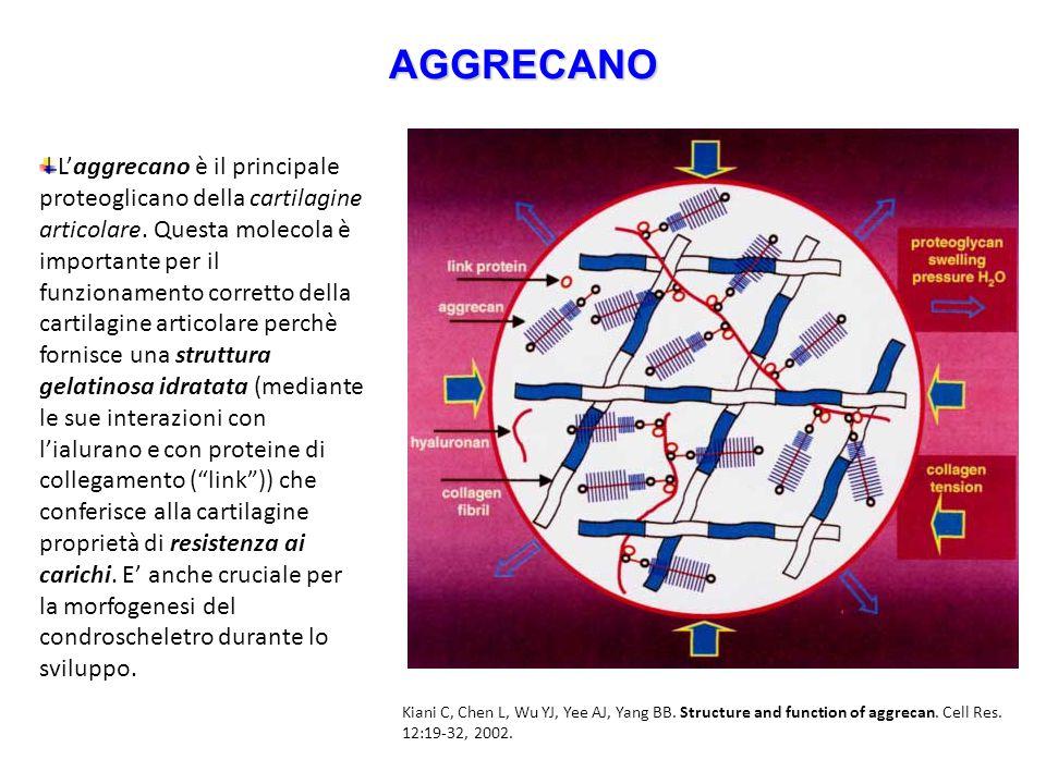 AGGRECANO L'aggrecano è il principale proteoglicano della cartilagine articolare. Questa molecola è importante per il funzionamento corretto della car