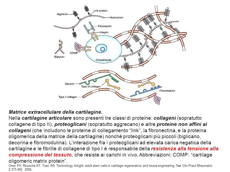 Matrice extracellulare della cartilagine. Nella cartilagine articolare sono presenti tre classi di proteine: collageni (sopratutto collagene di tipo I
