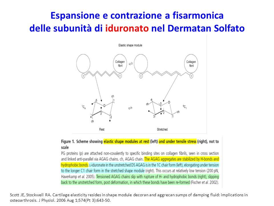 Espansione e contrazione a fisarmonica delle subunità di iduronato nel Dermatan Solfato Scott JE, Stockwell RA. Cartilage elasticity resides in shape