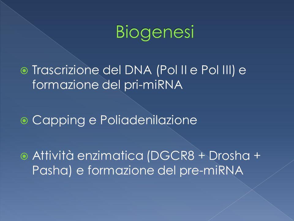  Trascrizione del DNA (Pol II e Pol III) e formazione del pri-miRNA  Capping e Poliadenilazione  Attività enzimatica (DGCR8 + Drosha + Pasha) e formazione del pre-miRNA