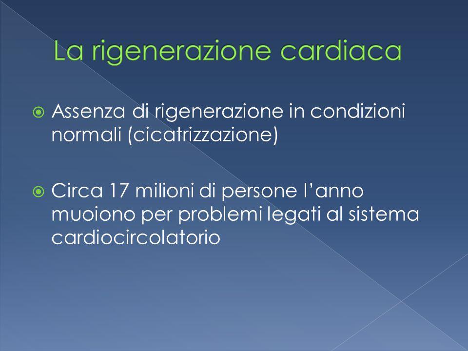 Assenza di rigenerazione in condizioni normali (cicatrizzazione)  Circa 17 milioni di persone l'anno muoiono per problemi legati al sistema cardiocircolatorio
