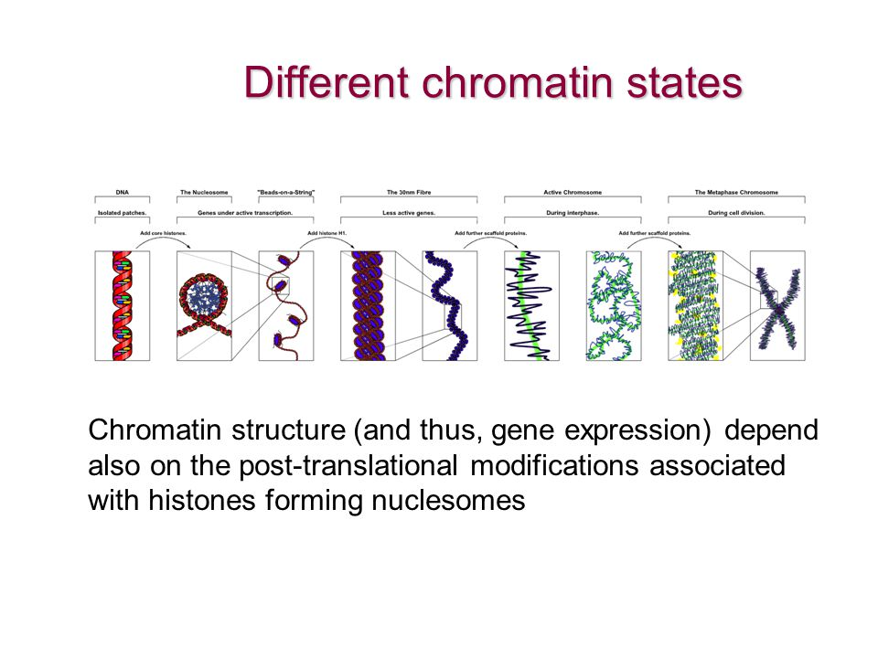 Different chromatin states Chromatin structure (and thus, gene expression) depend also on the post-translational modifications associated with histone