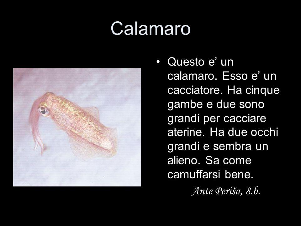 Calamaro Questo e' un calamaro. Esso e' un cacciatore. Ha cinque gambe e due sono grandi per cacciare aterine. Ha due occhi grandi e sembra un alieno.