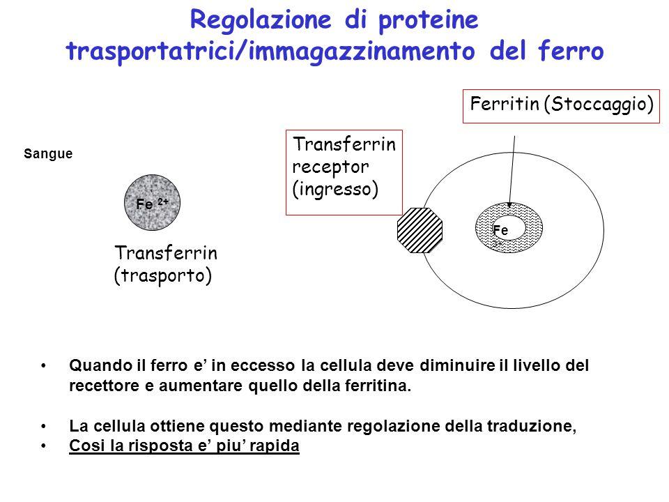 Fe 2+ Sangue Fe 3+ Transferrin (trasporto) Transferrin receptor (ingresso) Ferritin (Stoccaggio) Regolazione di proteine trasportatrici/immagazzinamento del ferro Quando il ferro e' in eccesso la cellula deve diminuire il livello del recettore e aumentare quello della ferritina.