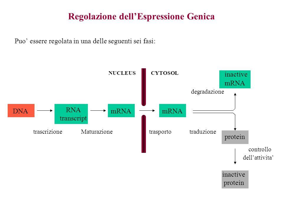 Regolazione dell'Espressione Genica Puo' essere regolata in una delle seguenti sei fasi: DNA RNA transcript mRNA inactive mRNA protein inactive protein NUCLEUSCYTOSOL trascrizioneMaturazionetrasporto traduzione degradazione controllo dell'attivita'